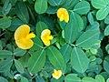 Arachis pintoi - Flower.jpg