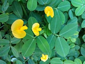 Arachis pintoi - The symmetry of the flower is zygomorph.