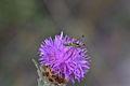 Araignées, insectes et fleurs de la forêt de Moulière (Le Gâchet de Villiers) (29129756115).jpg