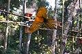 Arara-canindé voando.jpg