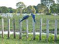 Arara Caninde no Pantanal.jpg
