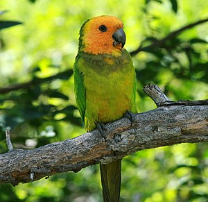 Brown-throated parakeet - Eupsittula pertinax xanthogenia on the island of Bonaire, Netherlands Antilles