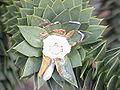 Araucaria araucana2.jpg