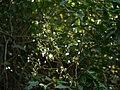 Archidendron bigeminum (L.) I.C.Nielsen (32397326934).jpg