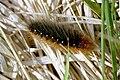 Arctia.caja.caterpillar.jpg