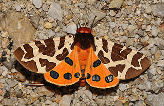 Butterfly - Most butterflies fly by day, most moths by night: but Arctia caja is day-flying.