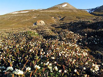 Flora of Svalbard - Arctic bell-heather