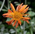 Arctotis x hybrida Flower High DoF.JPG