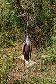 Ardea goliath - Réserve africaine de Sigean 01.jpg