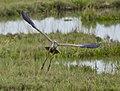 Ardea purpurea-pjt7.jpg