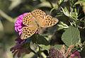 Argynnis paphia - Cengaver 01.jpg