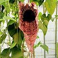 Aristolochia grandiflora-IMG 4618.jpg
