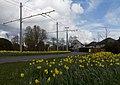 Arnhem-De Laar oost, narcissen op de Randweg foto7 2016-03-30 14.06.jpg