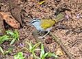 Arremonops conirostris -near Rancho Naturalista, Cordillera de Talamanca, Costa Rica-8.jpg