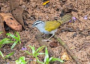 Black-striped sparrow - At Cordillera de Talamanca, Costa Rica