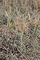 Artemisia santonicum - neotvorene cvasti 2.jpg