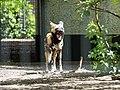 Artis Afrikaanse Wilde Hond (35735234113).jpg