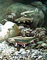 Artwork of brook trout fish 3 fish underwater.jpg