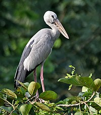 Asian Openbill (Anastomus oscitans) in Kolkata I IMG 0495