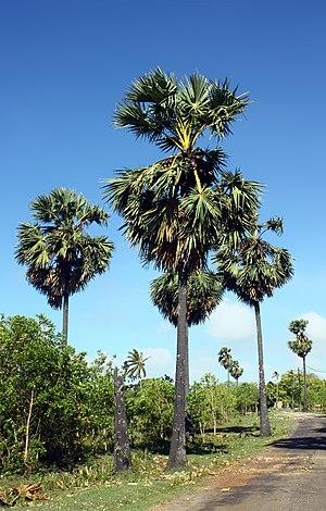 Borassus - Borassus flabellifer in Karainagar, Sri Lanka
