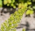 Asparagus densiflorus 'Myersii' in Jardin des 5 sens (1).jpg