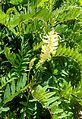 Astragalus canadensis kz2.jpg