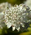 Astrantia major E.jpg