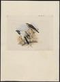 Astur haplochrous - 1859 - Print - Iconographia Zoologica - Special Collections University of Amsterdam - UBA01 IZ18300133.tif