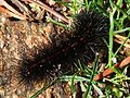 Atlantarctia tigrina larva.jpg