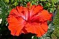 Atlas roslin pl Ketmia róża chińska 10666 9273.jpg