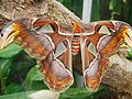 Attacus atlas-botanical-garden-of-bern 16.jpg