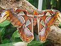 Attacus atlas-botanical-garden-of-bern 16.jpg