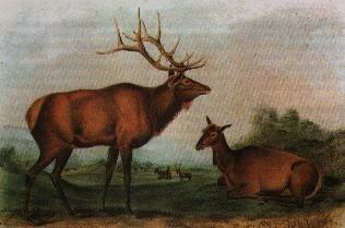 Audubon-eastern-elk