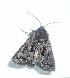 Aug11 151 British Moths Dark Brocade, Noctuidae, Cuculliinae, Mniotype adusta.jpg