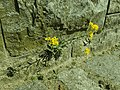 Aurinia saxatilis 2019-04-16 0979.jpg