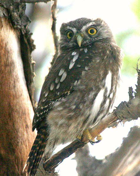 Ficheiro:Austral Pygmy-owl (Glaucidium nanum).jpg