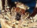 Australian Garden Orb Weaver Spider (Eriophora transmarina) 05.jpg