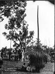Australian grass trees (2414464331).jpg