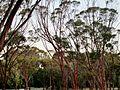 Australian trees Alsos park University of Cyprus Nicosia Cyprus.jpg