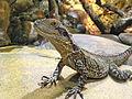 Australische Wasseragame (Physignathus lesueurii).jpg