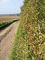 Autumn hedgerow on lane to Brambles Farm - geograph.org.uk - 1005279.jpg