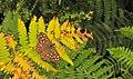 Autumns' colours, Speckled wood on Bracken( In ^Explore) ^70 - Flickr - pete. ^hwcp.jpg