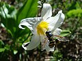Avalanche Lily & Hover Fly (7789755556).jpg