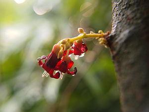 Averrhoa bilimbi - Image: Averrhoa bilimbi flower