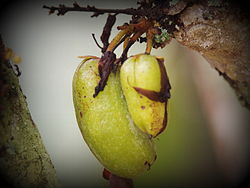 Averrhoa bilimbi fruit.JPG