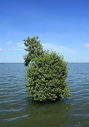Avicennia marina - Grey mangrove in a lagoon, Batticaloa, Sri Lanka