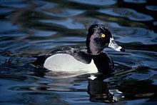 Lesser Scaup Duck