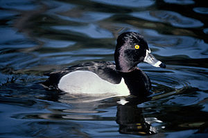 Lesser scaup - Drake of the ring-necked duck (A. collaris) in alternate plumage. Note black wings.