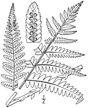 Description de l'image BB-0043 Dryopteris goldiana.png.