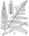 BB-0043 Dryopteris goldiana.png